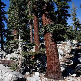 Red fir forest California