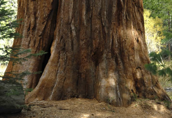 Fire scarred giant sequoia