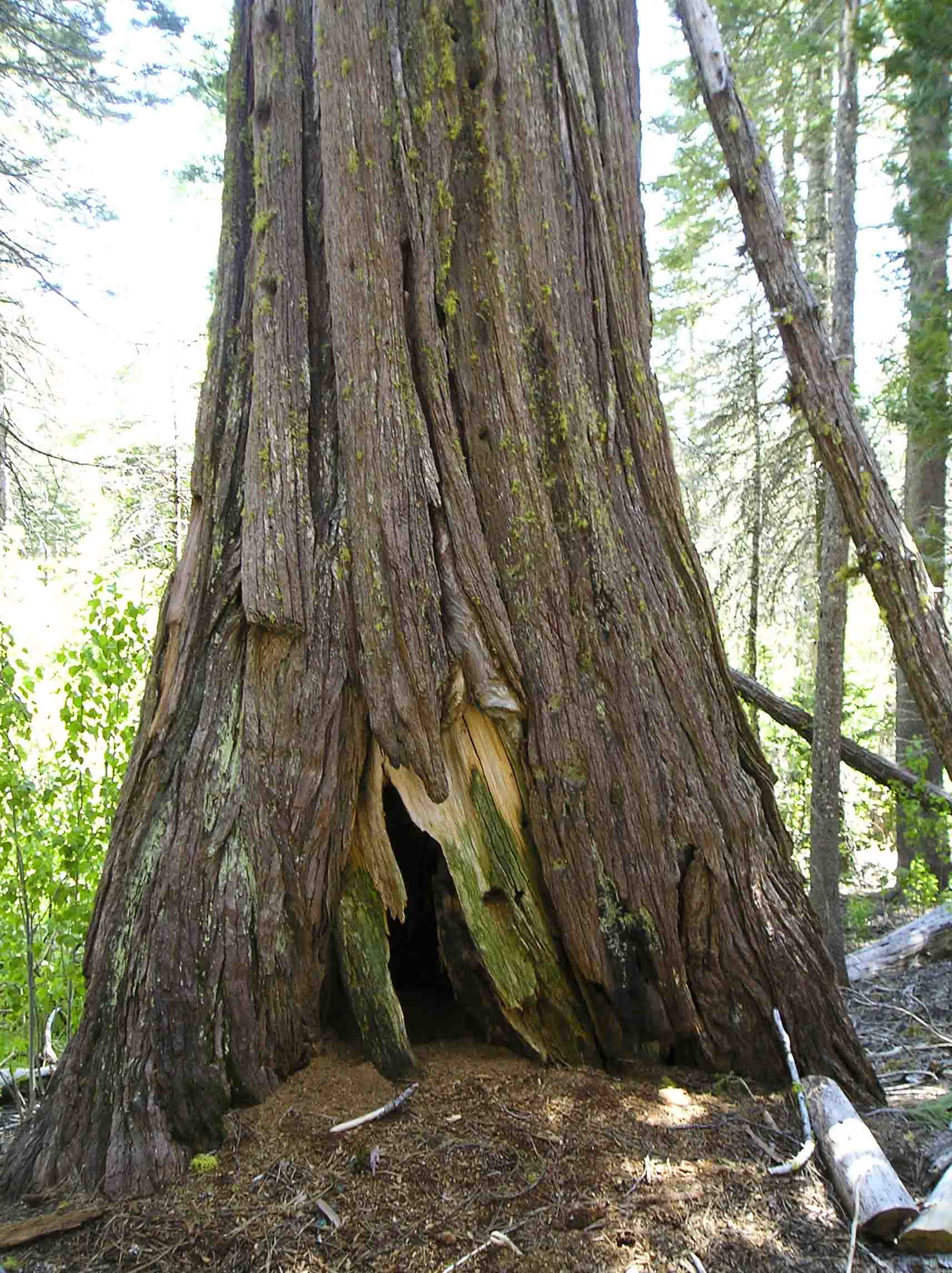 Old-growth cedar with stem chamber