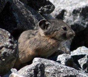 American Pika, courtesy Earthjustice