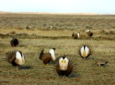 Greater sage-grouse FWS