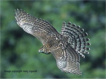 Northern Goshawk--Image Copyright Jerry Liguori