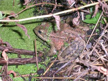 Red Legged Frog